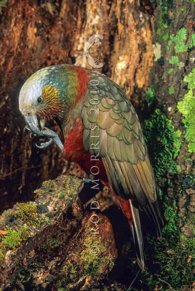 11001-71603  South Island kaka (Nestor meridionalis meridionalis) female in forest