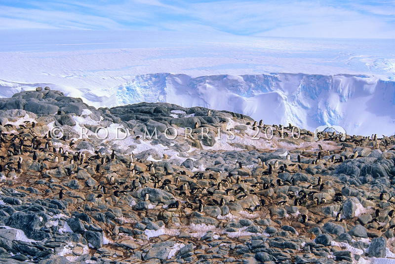 11001-26420 Adelie penguin (Pygocelis adeliae) a circumpolar breeder. This rookery is in East Antarctica
