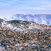 11001-26420 Adelie penguin (Pygocelis adeliae) a circumpolar breeder. This rookery is in East Antarctica *
