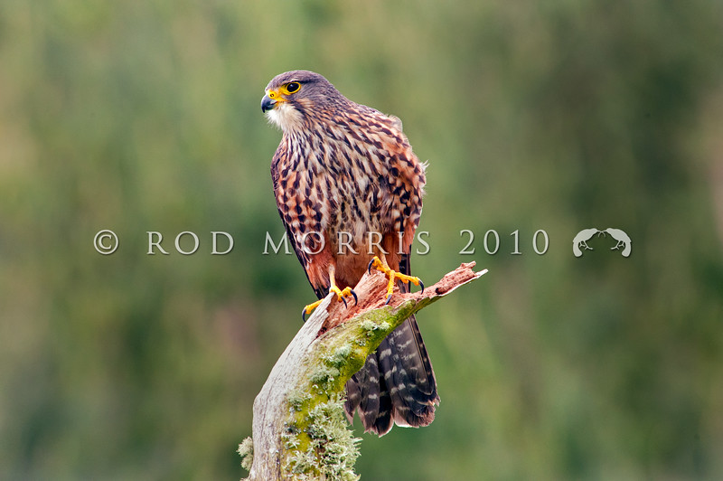DSC_3525 New Zealand falcon (Falco novaeseelandiae) adult male 'bush' falcon from the North Island, Rotorua *