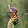 DSC_3525 New Zealand falcon (Falco novaeseelandiae) adult male 'bush' falcon from the North Island, Rotorua *