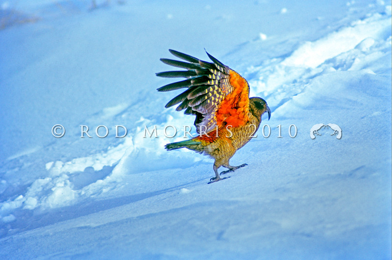 11001-72223 Kea or mountain parrot (Nestor notabilis) a flash of red under-wing from male walking across snow, Remarkables Ski field, Queenstown.