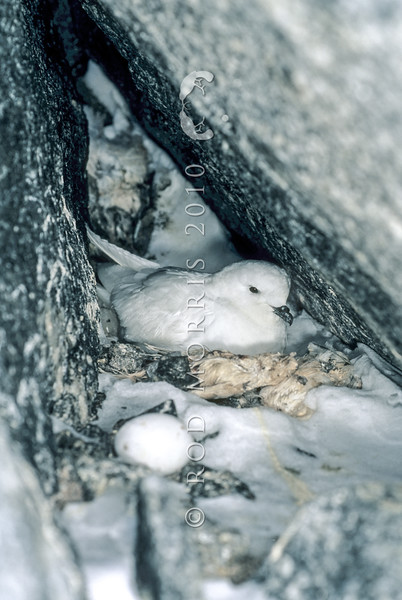 11001-17313  Greater snow petrel (Pagodroma nivea major) on nest in crevice. East Antarctica
