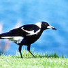 11001-89304  Black-backed magpie (Cracticus tibicen tibicen) a rare subspecies found in the lower North Island. Now considered closely related to butcherbirds, magpies were once placed in their own genus (Gymnorhina). Male feeding in suburban park. Hastings *