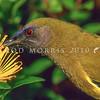 11001-83816  Bellbird (Anthornis melanura melanura) male feeding on rata (Metrisideros fulgens) nectar