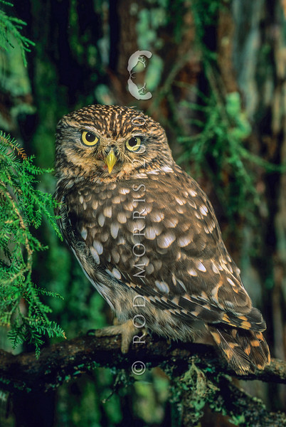 11001-76610  Little owl (Athene noctua) introduced. Widespread in eastern South Island *