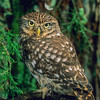 11001-76610  Little owl (Athene noctua) introduced. Widespread in eastern South Island