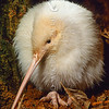 11001-01615 Western brown kiwi (Apteryx mantelli) portrait of a young leucistic female with no pigment in skin and feathers but with pigmented eyes. Hauturu/Little Barrier Island *
