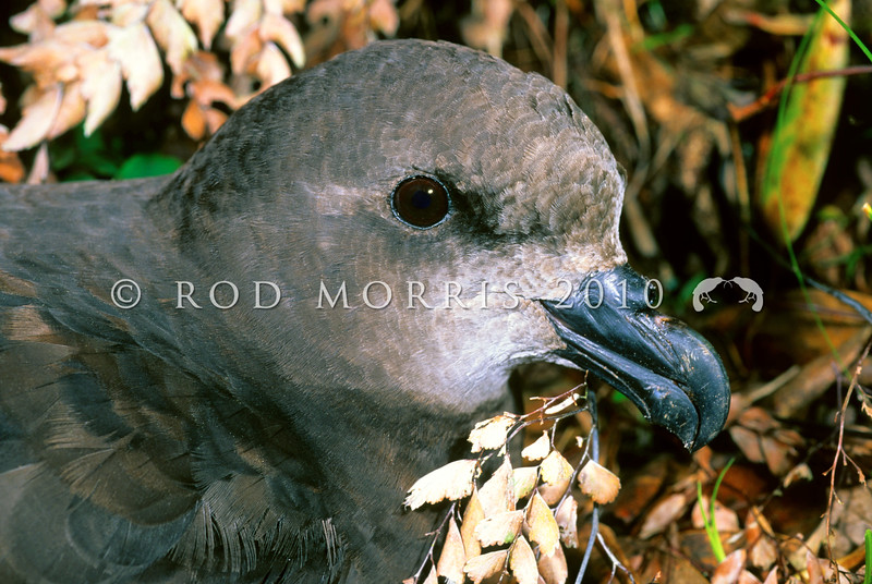 11001-20915  Grey-faced petrel (Pterodroma gouldi) head of adult in ferns *