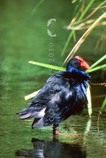 11001-50707  Pukeko (Porphyrio melanotus melanotus) standing at lake edge. Western Springs, Auckland *
