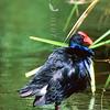 11001-50707  Pukeko (Porphyrio melanotus melanotus) standing at lake edge