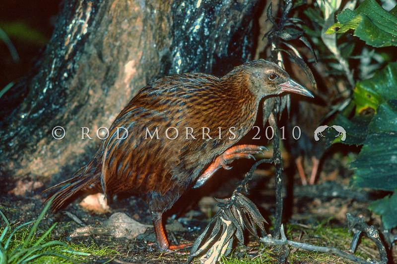 11001-49601 Stewart Island weka (Gallirallus australis scotti) male. Potuma Island, Southern Muttonbird Group *