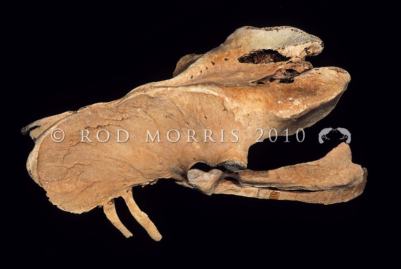 11001-00608 Eastern moa (Emeus crassus) pelvis [S27896] showing damage from the giant eagle (Harpagornis). Pyramid Valley. Eastern moa lived only in the South Island lowlands, in forests, grasslands, dunelands, and shrublands. Females were 15-25% larger than males, and like almost all moa species, it was extinct by the year 1500