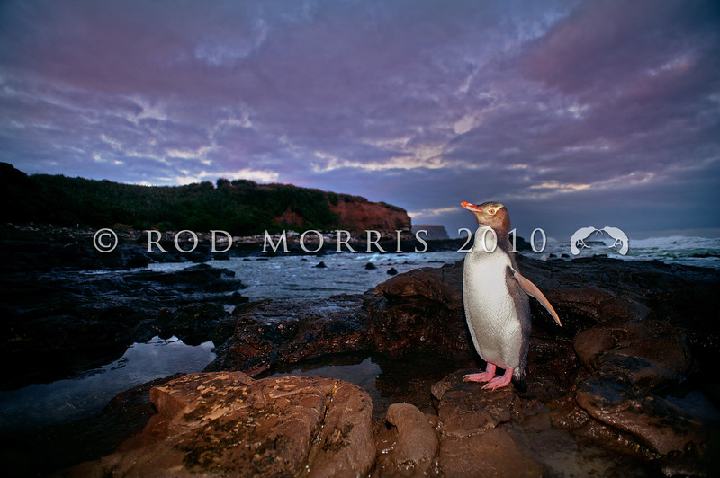 DSC_2107 Yellow-eyed penguin (Megadyptes antipodes) adult ashore on southern coast at dusk. Catlins *