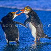 11001-29220  Royal penguin (Eudyptes schlegeli) two birds squabbling as they come ashore *