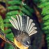 11001-81004 South Island fantail (Rhipidura fuliginosa fuliginosa) male *