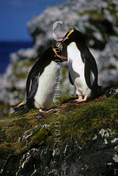 11001-30314 Erect-crested penguin (Eudyptes sclateri) pair with Reischek's parakeet (Cyanoramphus hochstetteri) in foreground