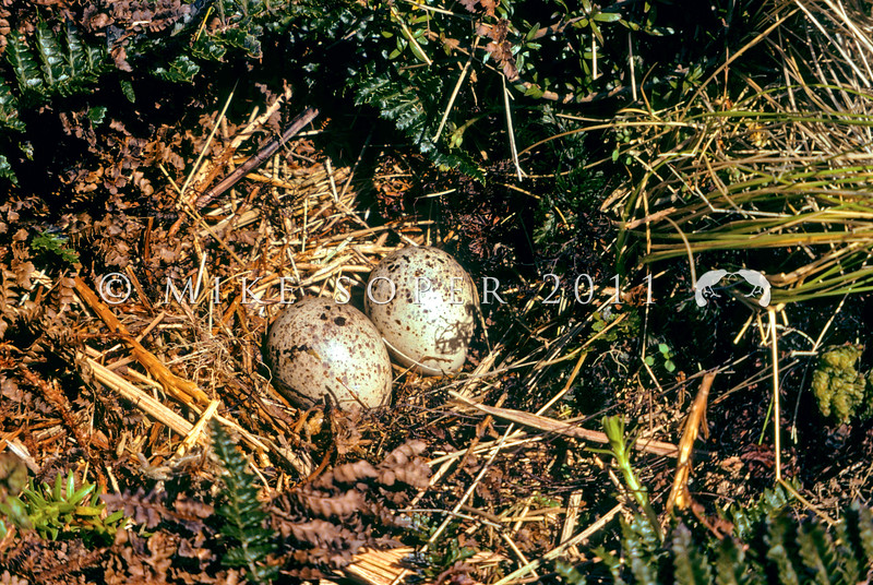 11001-57506 Antipodes Island snipe (Coenocorypha aucklandica meinertzhagenae) nest with typical two egg clutch, in polystichum fern