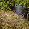 11001-52303 Australian coot (Fulica atra australis) one of M F Soper's historic photographs proving the first recorded breeding in NZ. Taken at Lake Hayes in 1958. Here one chick is hatching, watched by its parent. New Zealand had two species of native coot, that are now extinct, but they were probably terrestrial *