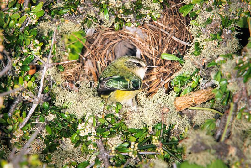 DSC_77510 South Island rifleman (Acantisitta chloris chloris) male at nest entrance in dense Matagouri thicket. Lake Ohau *