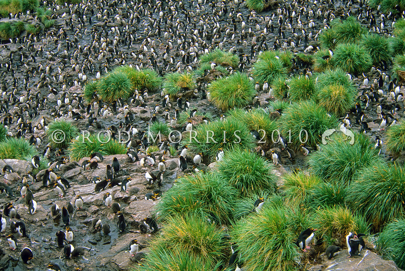 11001-28915 Macaroni penguin (Eudyptes chrysolophus) large breeding colony in South Georgia. Vagrants occasionally reach Campbell and Snares Islands.