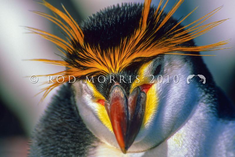 11001-29217  Royal penguin (Eudyptes schlegeli) breeds on Macquarie Island
