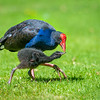 DSC_4871  Pukeko (Porphyrio melanotus melanotus) adult female feeding chick. Virginia Lake, Whanganui *