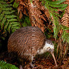 DSC_2336 Western brown kiwi (Apteryx mantelli) portrait of 'Whitehead' a 32 year old male. This bird with unusual white markings was caught as a juvenile in January 1981 in Te Wera Forest, Taranaki *