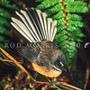 11001-81017 South Island fantail (Rhipidura fuliginosa fuliginosa) male