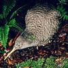 11001-04212  Little spotted kiwi (Apteryx owenii) male foraging at night in forest *