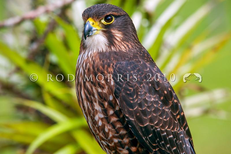 DSC_4302 New Zealand falcon (Falco novaeseelandiae) adult female 'bush' falcon from the North Island, Rotorua *