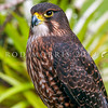 DSC_4302 New Zealand falcon (Falco novaeseelandiae) adult female 'bush' falcon from the North Island, Rotorua *