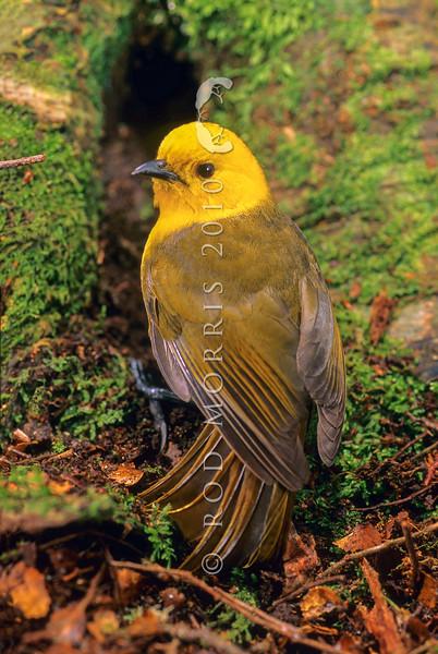 11001-80402 Yellowhead, or mohua (Mohoua ochrocephala) male on beech trunk. Catlins Forest *