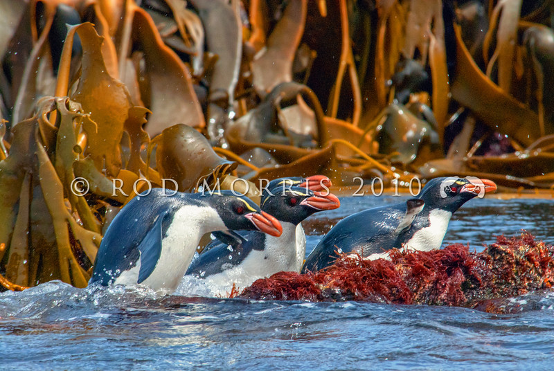DSC_0232 Snares crested penguin (Eudyptes robustus) view of birds coming ashore through kelp, Snares Island
