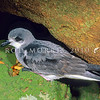 11801-20002  Black-winged petrel (Pterodroma nigripennis) adult. Philip Island