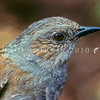 11001-79401  Dunnock or Hedge sparrow (Prunella modularis) close-up of head. This inconspicuous little introduced bird is common in gardens in the South Island, but in the North Island, it is rare north of the Waikato. Little Mangere, Chatham Islands  *