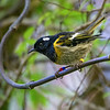 DSC_4797 Stitchbird or hihi (Notiomystis cincta) confined to North Island. Banded male perched in supplejack near forest stream, with head feathers lowered. Zealandia *