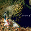 11001-72124 Kea or mountain parrot (Nestor notabilis) female feeding newly hatched chick in nest