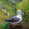 11001-09916 New Zealand White-capped albatross (Thalassarche cauta steadi) on 'chimney stack' nest at South West Cape, Auckland Islands *