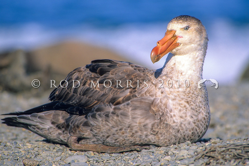 11001-18201 Northern Giant petrel (Macronectes halli) resting on beach *