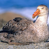 11001-18201 Northern Giant petrel (Macronectes halli) resting on beach