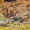 11001-49210 Buff weka (Gallirallus australis hectori) buffeted by Chatham Island winds