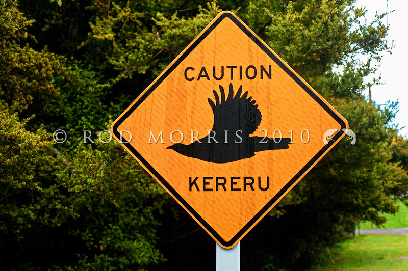 DSC_2312 Kereru or New Zealand pigeon (Hemiphaga novaeseelandiae) these road signs are the result of a successful 'community care' initiative in forested Otatara, Southland. They warn motorists of low flying kereru around the streets, reduce the incidence of car injuries to kereru, and are a gentle reminder of the importance of these handsome native birds *
