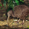 11001-01923 Eastern brown kiwi (Apteryx mantelli) capturing freshwater crayfish *
