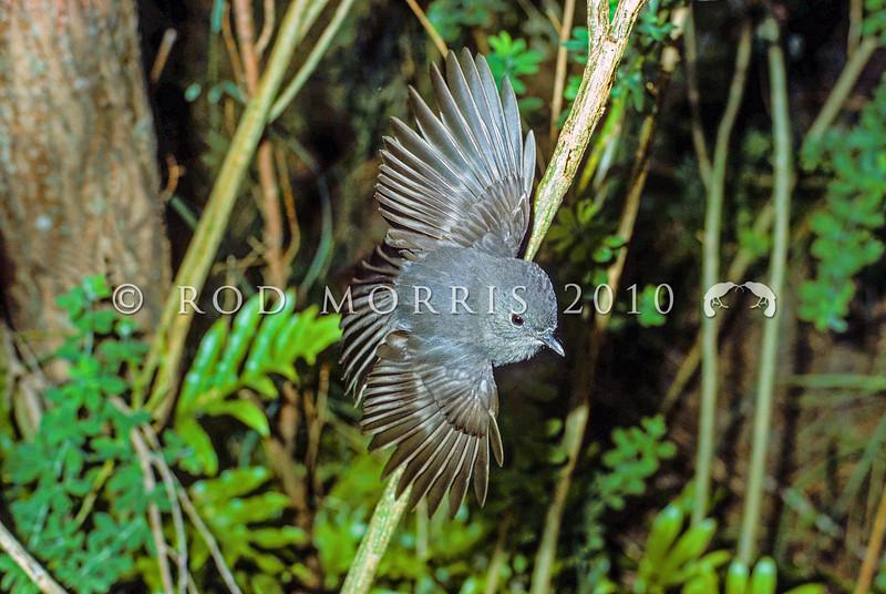 11001-81802 South Island robin (Petroica australis australis) male alighting on branch. Kaikoura *