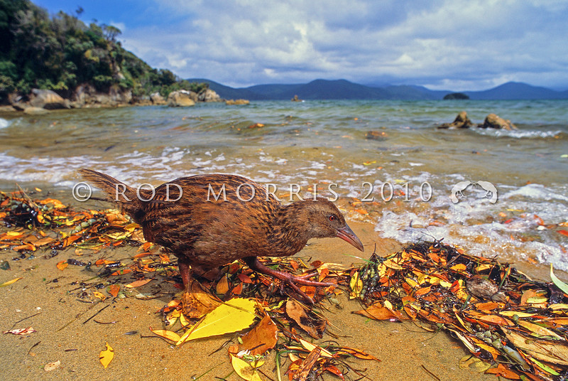 11001-49708 Stewart Island weka (Gallirallus australis scotti) foraging along shore line. Paterson Inlet, Stewart Island *