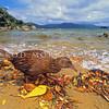 11001-49708 Stewart Island weka (Gallirallus australis scotti) foraging along shore line