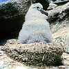11001-10302  Salvin's albatross (Thalassarche salvini) view of downy chick on 'chimney stack' nest on the Bounty Islands