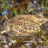 11001-78301 Eurasian Skylark (Alauda arvensis) fledgling sitting tight near nest on riverbed. Showing distinctive yellow-brown camouflaged plumage characteristic of this species. Tekapo River *