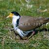 11001-56814 Masked lapwing (Vanellus miles novaehollandiae) nesting in paddock. Southland *